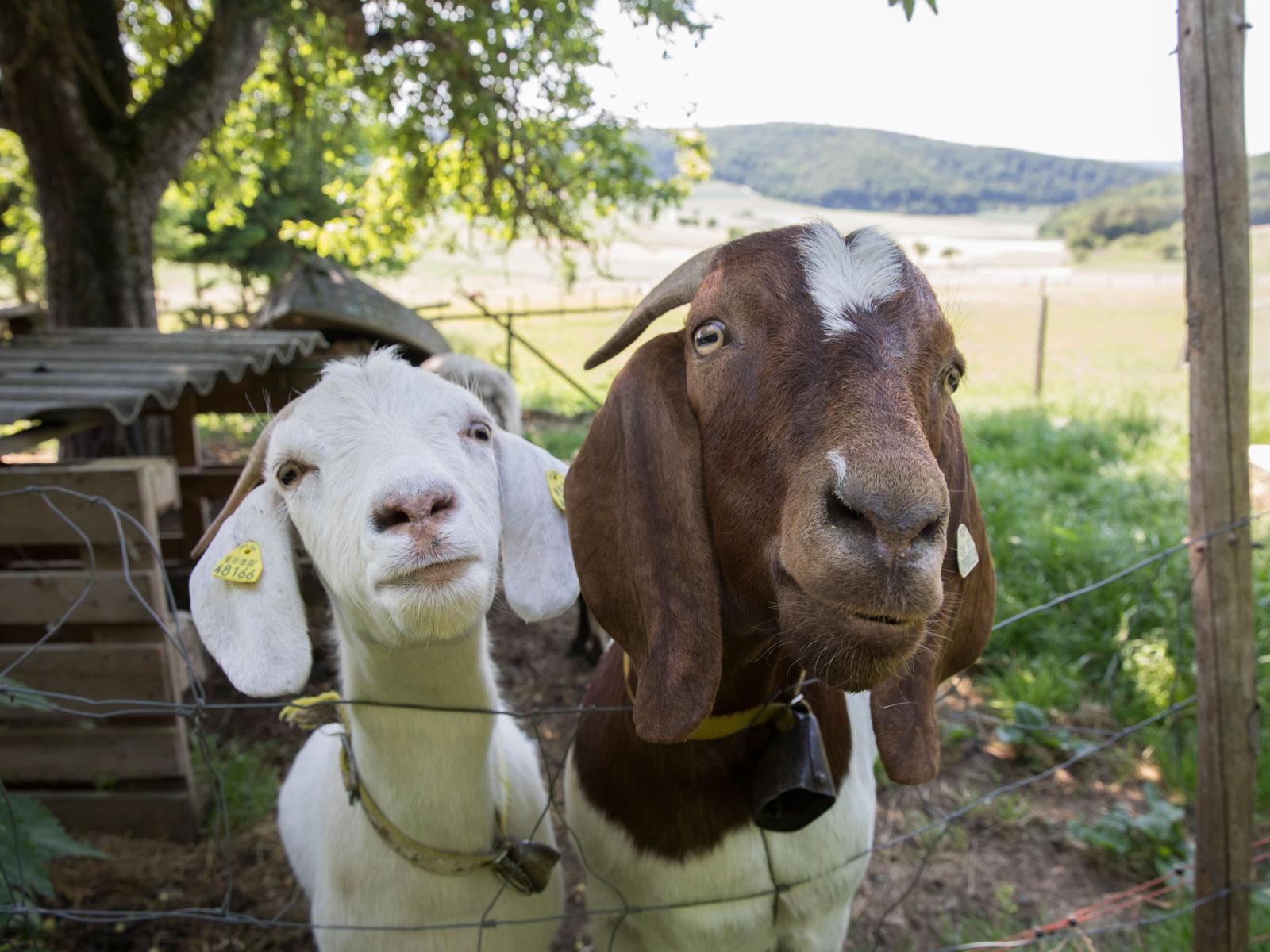 Zwei Ziegen